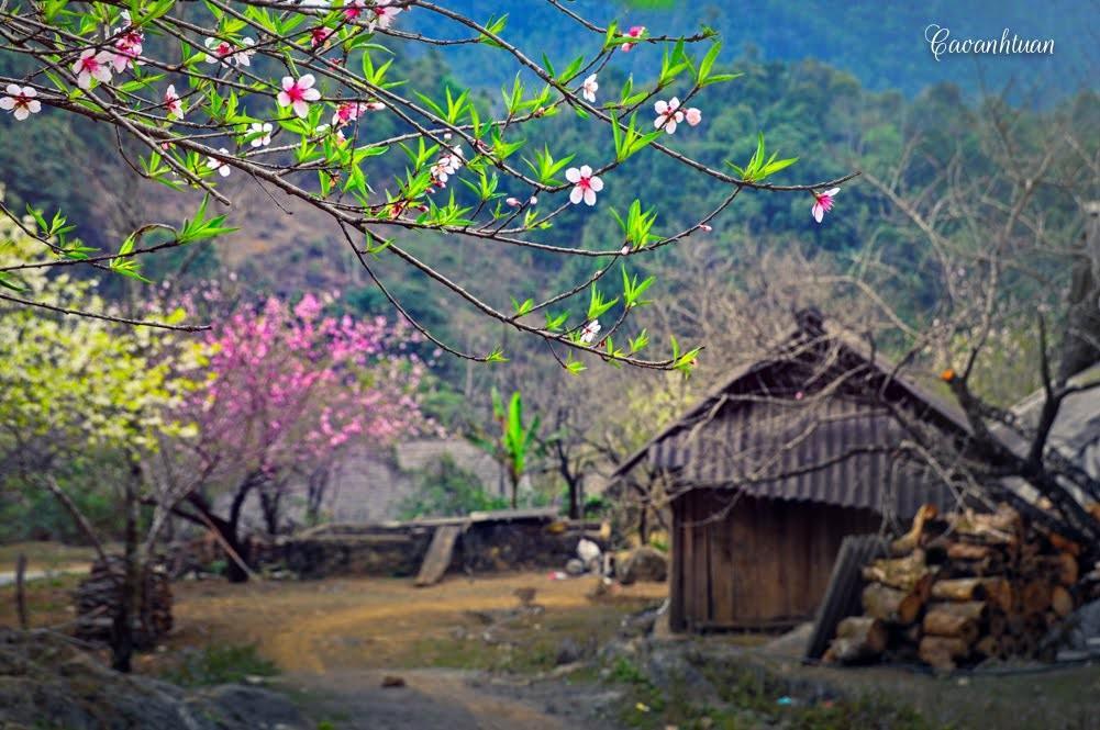 Hà Nội - Xuân Mộc Châu - Hoa Mận trắng